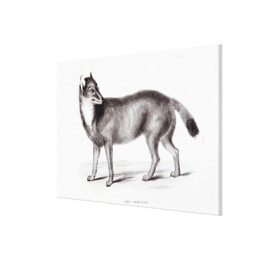 Canis Antarcticus Canvas Print