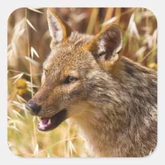 Canis de oro del chacal aurífero pegatina cuadrada