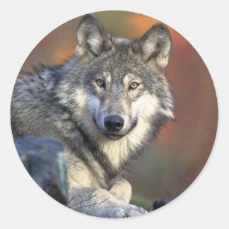 Canis_lupus_Grey Wolf Classic Round Sticker