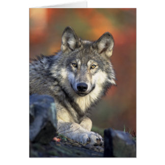 Canis_lupus Grey Wolf Wolves Card