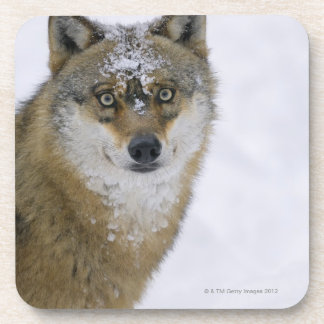Canis lupus, Looking at Camera, Germany, Europa Beverage Coaster