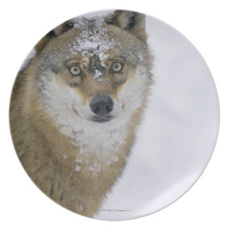 Canis lupus, Looking at Camera, Germany, Europa Melamine Plate