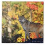 Canis lupus.order del lobo gris: carnivorafamily azulejo cuadrado grande