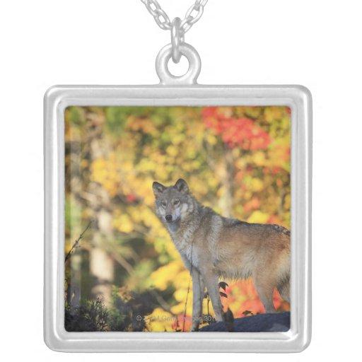 Canis lupus.order del lobo gris: carnivorafamily collar personalizado