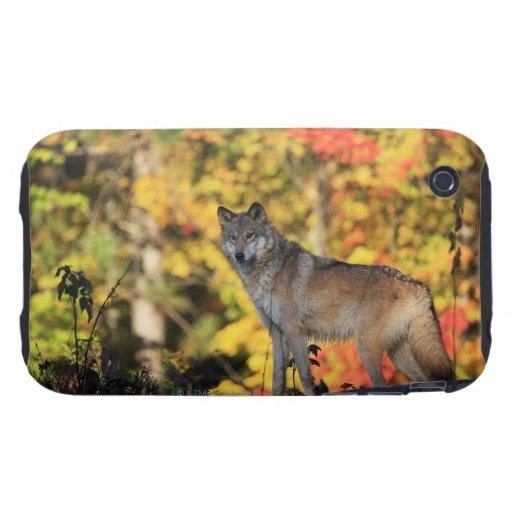 Canis lupus.order del lobo gris: carnivorafamily tough iPhone 3 carcasas