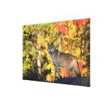 Canis lupus.order del lobo gris: carnivorafamily impresión en lienzo