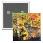 Canis lupus.order del lobo gris: carnivorafamily pin cuadrado