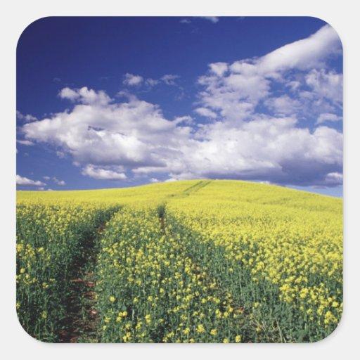 Canola amarillo en el estado del condado de calcomanías cuadradas personalizadas