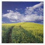 Canola amarillo en el estado del condado de Whitma Teja