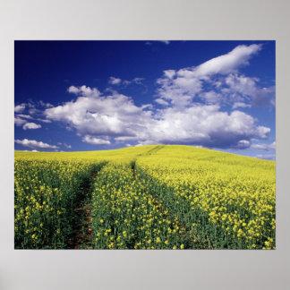 Canola amarillo en el estado del condado de Whitma Póster