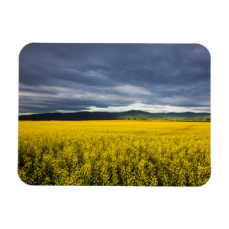 Canola field in morning light in the Flathead Magnet