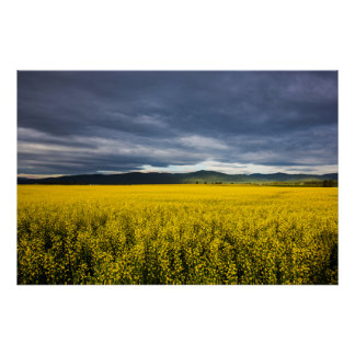 Canola field in morning light in the Flathead Poster