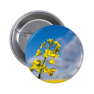 Canola field in summer with yellow flowers and blu button