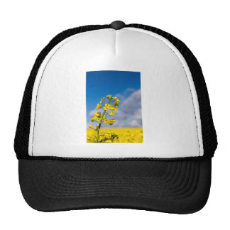 Canola field in summer with yellow flowers and blu trucker hat