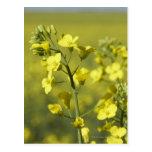 Canola flowering in field. 3 postcard