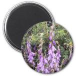 Cantorbery Belces púrpura 1 imán