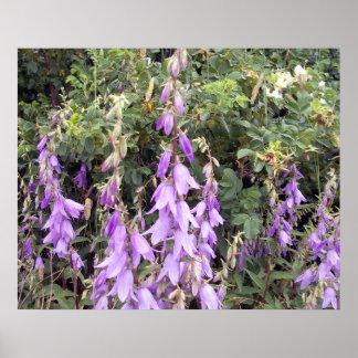 Cantorbery Belces púrpura 1 poster