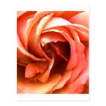 Cantorbery color de rosa 3 los regalos de Zazzle Tarjetas Postales