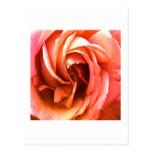 Cantorbery color de rosa los regalos de Zazzle del Tarjeta Postal