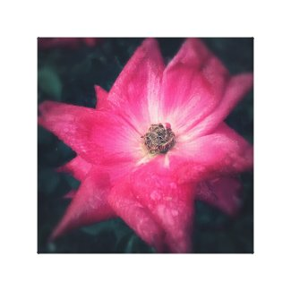 Canvas Art - Star Rose 12 x 12