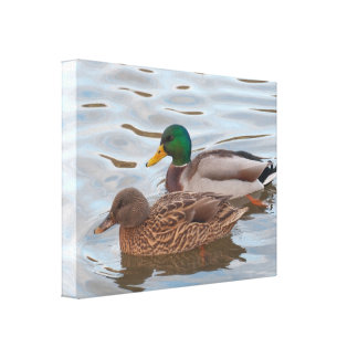 Canvas: Mallard Ducks Canvas Print