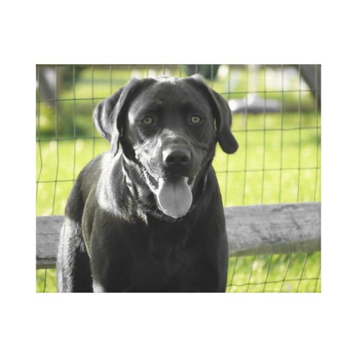 Canvas Photo of Chocolate Lab Gallery Wrap Canvas