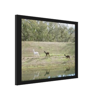 Canvas print - Alpacas on the hill