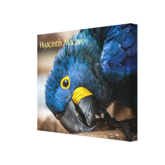 Canvas print of a Hyacinth Macaw Parrot