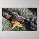 Canvas Print:  Starfish