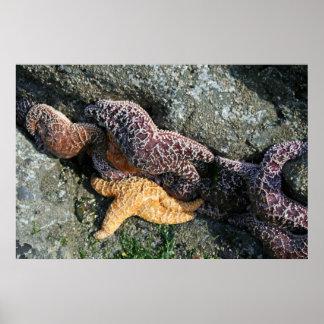 Canvas Print:  Starfish Poster