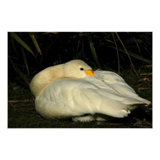 Canvas - Sitting Bewick Swan Posters