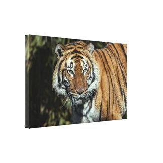 Canvas Wrap: Malayan Tiger Canvas Prints