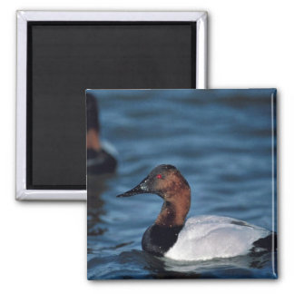 Canvasback drake 2 inch square magnet