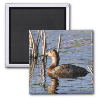 Canvasback hen 2 inch square magnet