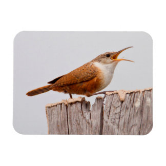 Canyon Wren (Catherpes Mexicanus) Singing Magnet