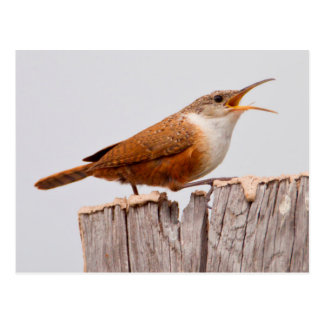 Canyon Wren (Catherpes Mexicanus) Singing Postcard