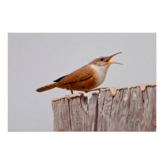Canyon Wren (Catherpes Mexicanus) Singing Poster