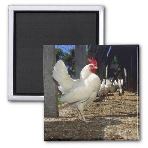 Capas (gallinas y gallos) imán cuadrado