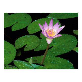 Cape Blue Water Lily (Nymphaea Capensis) Postcard