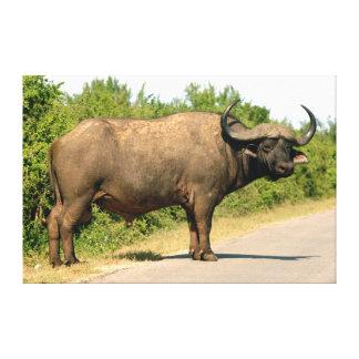 Cape Buffalo, Addo Elephant National Park Canvas Print