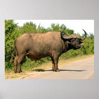 Cape Buffalo, Addo Elephant National Park Poster