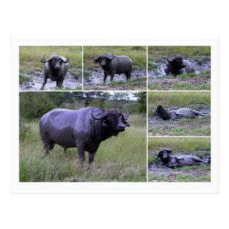 Cape Buffalo Enjoying Mud Bath, South Africa Postcard