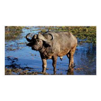 Cape Buffalo posters, prints & pictures
