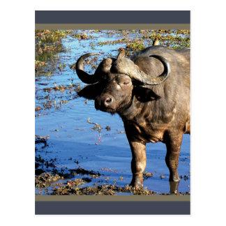 Cape Buffalo safari greeting postcards