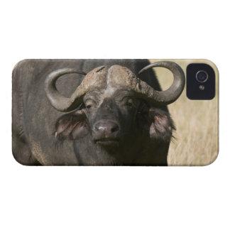 Cape Buffalo (Syncerus caffer), Masai Mara iPhone 4 Case-Mate Case