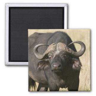 Cape Buffalo (Syncerus caffer), Masai Mara Magnet