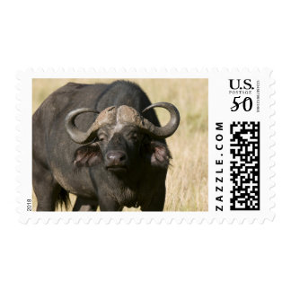 Cape Buffalo (Syncerus caffer), Masai Mara Postage