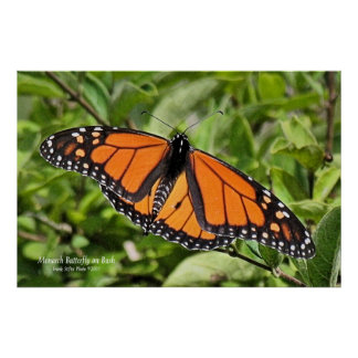 Cape Cod Monarch Butterfly Poster