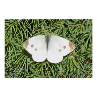 Cape Cod White Cabbage Butterfly Poster