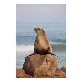 Cape Fur Seal resting on a rock Poster